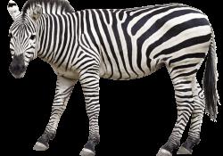 Paarden zebra